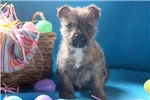Picture of Graham - Cairn Terrier Male