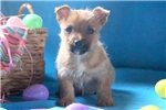 Picture of Goldie - Cairn Terrier Female