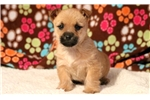 Picture of Spike - Cairn Terrier Male