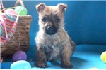 Picture of Gino - Cairn Terrier Male