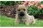 Picture of Cody - Cairn Terrier Male