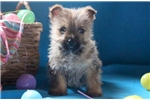 Picture of Gilbert - Cairn Terrier Male