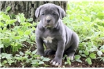 Picture of Candy - Cane Corso Female