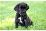 Picture of Lola - Cane Corso Female
