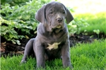 Picture of Cherry - Cane Corso Female