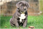 Picture of Lucus - Cane Corso Male