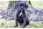 Picture of Cujo - Cane Corso Male