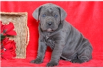 Picture of Theo - Cane Corso Male