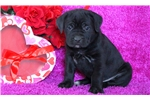 Picture of Tia - Cane Corso Female