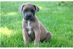 Picture of Lewie - Cane Corso Male