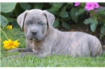 Picture of Crystal - Cane Corso Female