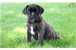 Picture of Laura - Cane Corso Female