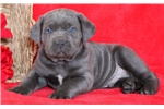 Picture of Toby - Cane Corso Male