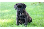 Picture of Love - Cane Corso Female