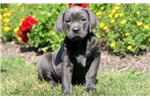 Picture of Beauty - Cane Corso Female