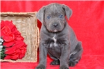 Picture of Teddy - Cane Corso Male