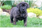 Cane Corso Mastiff for sale