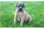 Picture of Lizzy - Cane Corso Female