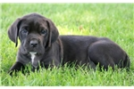 Picture of Lucky - Cane Corso Female