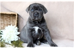 Picture of Buster - Cane Corso Male