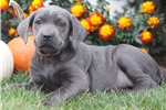 Picture of Cleopatra - Cane Corso Female