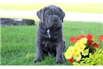 Picture of Turbo- Cane Corso Female