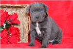 Picture of Tanner - Cane Corso Male