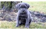Picture of Cambella - Cane Corso Female