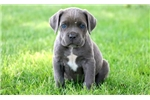 Picture of Libby - Cane Corso Female