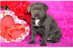 Picture of Tory - Cane Corso Female