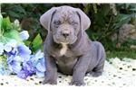 Picture of Paws - Cane Corso Male
