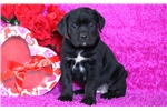 Picture of Tabby - Cane Corso Female