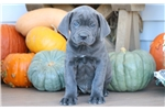Picture of Butterfly - Cane Corso Female