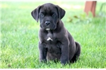 Picture of Leo - Cane Corso Male