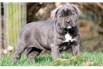 Picture of Lilly - Cane Corso Female