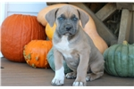 Picture of Blossom - Cane Corso Female