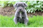 Picture of Charger - Cane Corso Male