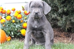 Picture of Cassidy - Cane Corso Female