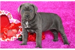 Picture of Twinkle - Cane Corso Female