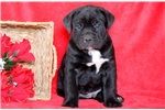 Picture of Tucker - Cane Corso Male