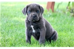 Picture of Landon - Cane Corso Male
