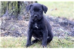 Picture of Cinderella - Cane Corso Female