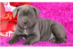 Picture of Tinkerbell - Cane Corso Female