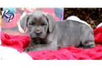 Picture of Hope - Cane Corso Female