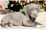 Picture of Sophie - Cane Corso Female