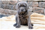 Cane Corso Mastiff for sale