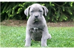 Picture of Blessing - Cane Corso Female