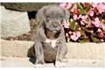 Picture of Skittles - Cane Corso Male