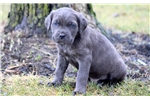 Picture of Captain - Cane Corso Male