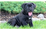 Picture of Sugar - Cane Corso Female